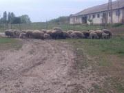 Продам отару овец (баранов)