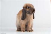 продам декоративного кролика- девочка кировоград
