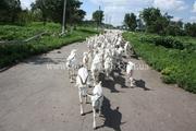 Продажа племенных  коз,  козликов и козочек  зааненской породы