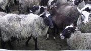 Срочно продам отару овец