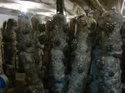 мицелий вешенка грибы выращивание Кировоград