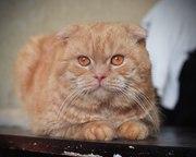 Шикарный шотландский вислоухий кот приглашает самочку на вязку