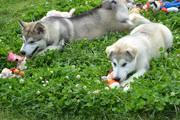Предлагаются щеночки аляскинского маламута