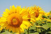насіння соняшника та семена подсолнечника