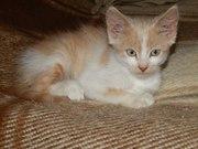 Рыже-беленький мальчик 2 месяца