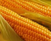 Продам семена кукурузы торговой марки Best corn